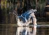 Great Catch! (DonMiller_ToGo) Tags: wildlife fishing nature onawalk birds outdoors birdwatching greatblueheron d810 heron florida