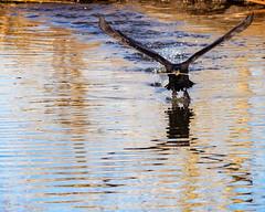 Coming At You (droy0521) Tags: pond birdinflight cormorant wildlife winter sunrise water bird belmar outdoors colorado lake waterfowl places animal