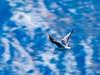 Black-headed Gull (fotofrysk) Tags: blackheadedgull gull larusridibundus blue hills mountains bay fjord steep istriamontenegroroadtrip montenegro bayofkotor adriaticcoast dalmatiancoast afsnikkor703004556g nikond7100 201710099315