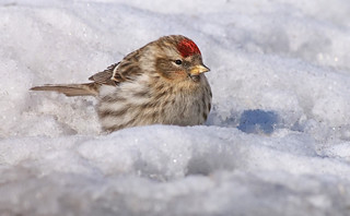 White spring and a Redpoll