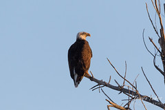 Male Bald Eagle hanging out near the nest