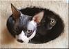 dangerous eyes ... (friedrichfrank1966) Tags: animals cats nacked katzen tiere eyes augen