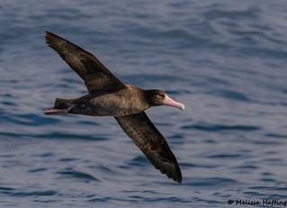 Short-tailed Albatross (Phoebastria albatrus) - off Tofino, BC