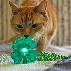 Happy ST. Patrick's Day! (WilliamND4) Tags: cat pet cute tabby stpatricksday