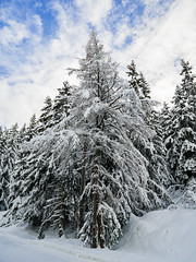 Arbres sous la neige (pixdelight) Tags: montagne mountain frenchalps alpes valcenis arbres trees panasonic lumix gx7 snow neige