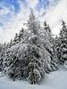 Arbres sous la neige (pixdelight) Tags: montagne mountain frenchalps alpes valcenis arbres trees panasonic lumix gx7 snow neige