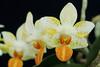 Phalaenopsis Mini Mark (miss_no_name) Tags: orchid flower phal phalaenopsis mini mark bloom orange