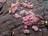 Ascocoryne sarcoides? (chaerea) Tags: ascocoryne ascocorynesarcoidos bc canada forest forestfloor fungi macro mushroom mycology nature woodland
