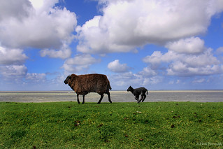 Groningen: Lauwersoog, sheep on the dike