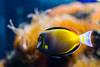 Acanthurus Japonicus - Cirujano Japonés (carlosbenju) Tags: naturaleza nature pez fish fishaquarium yellow amarillo agua water sea mar acuario acuático colores colors coral coralreef arrecife