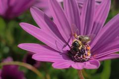 Abeja (CrisGlezForte) Tags: flor abeja primavera polen
