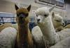 Vicugna pacos (mo.foto_) Tags: alpaca vicugnapacos fluffy white brown portrait domesticated fiber fleece floof