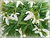Last Snowdrops of the Year .. (** Janets Photos **) Tags: uk snowdrops plants flora flowers badweather