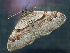 Xanthorhoe designata - Flame carpet - Ларенция капустная (Cossus) Tags: geometridae larentiinae xanthorhoe пяденица 2009 можайский