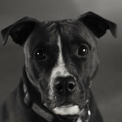 Good Girl (kmetz12.km) Tags: dogs dog pitbull blackandwhite bw animals pose sony a6000 apsc k9 pets goodgirl apbt