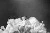 20180224 Irago 5 (BONGURI) Tags: 田原市 愛知県 日本 jp bw monochrome 白黒 モノクロ モノクローム stamen おしべ 雄蕊 雄蘂 しべ 蘂 蕊 flower 花 rapeblossom 菜の花 irago 伊良湖 atsumipeninsula 渥美 渥美半島 tahara 田原 aichi 愛知 nikon d850 afsvrmicronikkored105mmf28gif