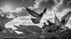 GAH_0458 (granth2903) Tags: nikon d800 50mm intothesun birds pigeons flight landing wings sky feeding blackwhite wwwgranthardenphotographycom