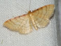 Idaea humiliata - Isle of Wight wave - Малая пяденица скромная (Cossus) Tags: geometridae idaea sterrhinae пяденица 2009 анциферово