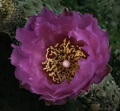 Beavertail Cactus Bloom (Bill Gracey 18 Million Views) Tags: beavertailcactus opuntiabasilaris cactus lakeside fleur flower flor pink color colorful macrolens macrophotography offcameraflash lastoliteezbox softbox yongnuo yongnuorf603n garden sidelighting