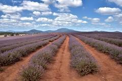Provence? - Tasmania Mate ! (Franklin Vincentie) Tags: australia tasmania lavender plants flowers sky mountain