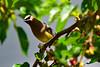 Cedar Waxwing (Jays and Jets) Tags: bird birds animal animals florida northwestflorida gonzalez cedarwaxwing migration berries