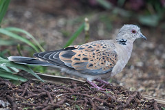 Turtle Dove, 1st winter (The Treerunner) Tags: beachroad firstwinter turtledove