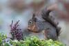 Red Squirrel (Dougie Edmond) Tags: ringford scotland unitedkingdom gb wildlife nature spring sunshine hide photorgrphy canon