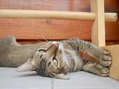 088/365: the noi house cat (Michiko.Fujii) Tags: cat catstretch scratch paws