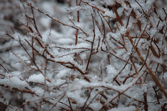 Not sure why I found this interesting (T.M.Peto) Tags: snow snowflakes icecrystals branches bush snowy snowfall springsnow april zoom closeup closeupphotography outdoor outdoors outdoorphotography nikonoutdoors nikon nikond3300 nikonphotography adobelightroom lightroom outside god'screation
