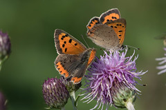 Small coppers (Lycaena phlaeas) Kleine vuurvlinder (Ron Winkler nature) Tags: mating small coppers lycaenaphlaeas lycaena phlaeas kleine vuurvlinders vlinder butterfly insect insects lepidoptera wildlife nature macro netherlands nederland europe europa canon
