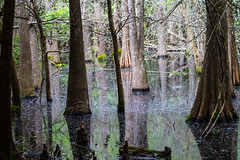 i am secluded (HeidiFischer) Tags: high island rookery wildlife smith oaks sanctuary cypress trees reflection