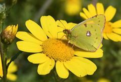 Clouded Yellow (Colias crocea).. (festoon1) Tags: butterfly cloudedyellow coliascrocea cyprus crowndaisy chrysanthemumcoronarium flower