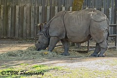 Indische Neushoorn - Greater Indian rhinoceros - Rhinoceros unicornis (desire van meulder) Tags: animals dieren mammals zoogdieren rhinoceros neushoorn indianrhinoceros indischeneushoorn rhinocerosunicornis