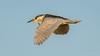 Black-crowned Night-Heron (Bob Gunderson) Tags: birds blackcrownednightheron california lasgallinas marincounty northbay northerncalifornia nycticoraxnycticorax wadingbirds