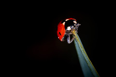 alone in the dark (rondoudou87) Tags: coccinelle ladybug macro dark shadow sombre flash pentax k1 nature natur jardin garden insecte insect red rouge light