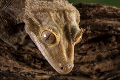 Crested Gecko, CaptiveLight, Bournemouth, UK