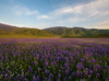 Depth Of Field (jojo (imagesofdream)) Tags: lupines kern county california wildflowers