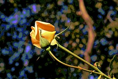 Autumn Yellow Rose (maginoz1) Tags: abstract art autumn rose yellow flowers manipulation curves bulla melbourne victoria australia april 2018 canon g3x