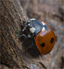 Ladybird 1 (StevenMBeard) Tags: animals closeup insects macro