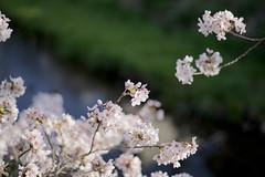sakura_55 (gnsk) Tags: pentax pentaxart fa77 f18 limited k1 pentaxfa cherry blossom cherryblossom bokeh dof flower