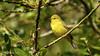 Orange-crowned Warbler (Bob Gunderson) Tags: birds botanicalgardens california goldengatepark northerncalifornia orangecrownedwarbler oreothlypiscelata sanfrancisco warblers woodwarblers