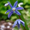 Blue (R_Ivanova) Tags: nature flower flowers spring garden macro colors color blue green outdoor plant sony rivanova риванова цветя природа пролет градина макро
