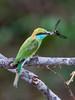 Sri Lanka '17_0153 (Jimmy Vangenechten 76) Tags: geo:lat=843655132 geo:lon=8000767700 geotagged greenbeeeater srilanka ceylon asia azië indianocean indische oceaanwildlifeanimalbirddiervogelwilpattu national parkgreen beeeatermerops orientaliskleine groene bijeneter