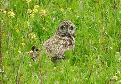 Coruja-do-nabal * Asio Flammeus (xofred) Tags: corujadonabal coruja nabal owl shorteared asio flammeus