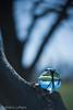B35Tree-1 (shutterdoula) Tags: crystalball lensball glassball refraction tree lensbaby burnside35
