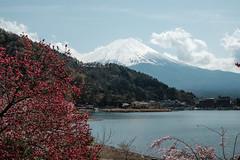 20180413 Mount Fuji, Sakura 3 (chromewaves) Tags: fujifilm xt20 xf 1855mm f284 r lm ois lake kawaguchiko japan mount fuji kawaguchi