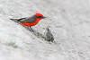 A Faithful Father (geno k) Tags: flycatcher vermilionflycatcher vermilionflycatcherandfledgling vermilionflycatcherfledgling 4132018