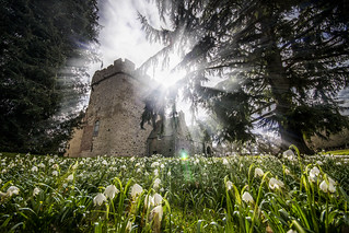 snowdrops gleam in spring sunshine flooding the Old Tower and gates of Drum Castle, Aberdeenshire, Scotland