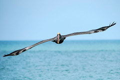 Brown Pelican Incoming (Bernie Duhamel) Tags: brownpelican pelican shorebird bird wildlife sonya9 sonyfe100400mm greatphotographers teamsony bernie duhamel ocean sea waves gulfofmexico naples naplesbeach