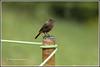 7777 - pied bush chat (chandrasekaran a 47 lakhs views Thanks to all) Tags: piedbushchat birds nature india tamilnadu coonoor nilgiris tamronsp150600mmg2